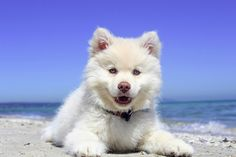 Best Male Dog Names - 200 Great Ideas For Boy Puppies! In this article, we'll give you some great ideas for boy dog names as well as our top male dog names! Best Male Dog Names, White Husky Puppy, Cute Puppies, Dogs And Puppies, Puppies With Blue Eyes, Easiest Dogs To Train, Golden Retriever, White Dogs, Training Your Dog