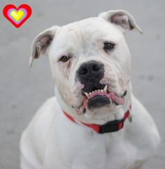 SAFE 12-7-2015 --- Brooklyn Center SNOW – A1058845 FEMALE, WHITE, AMER BULLDOG MIX, 1 yr, 6 mos STRAY – STRAY WAIT, HOLD FOR ID Reason OWN ARREST Intake condition EXAM REQ Intake Date 11/24/2015 http://nycdogs.urgentpodr.org/snow-a1058845/