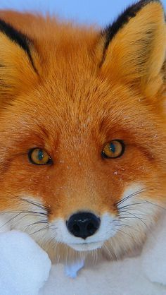Red Fox ...beautiful face