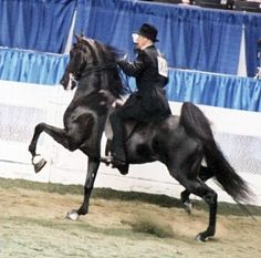 """""""Along Came a Spider"""" 5-Gaited American Saddlebred mare"""