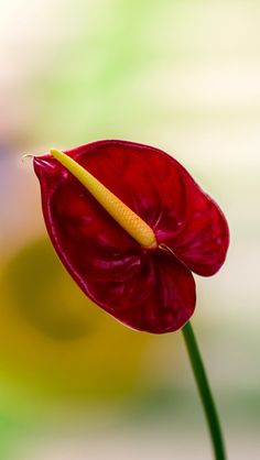 Anthurium Flower - House Plant