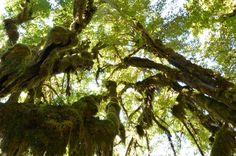 get more http://earth66.com/botanical/hall-mosses-hoh-rainforest/