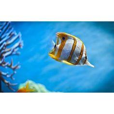 【animal2016march】さんのInstagramをピンしています。 《#熱帯魚 #サンゴ #イエローフィッシュ #アクアリウム #水中写真 🐠😍 #tropicalfish #coral #yellowfish #Aquarium  #Underwaterphotography 🐠😍》