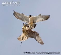 Peregrine falcon | Peregrine falcon ssp. anatum food transfer, tiercel passing to falcon