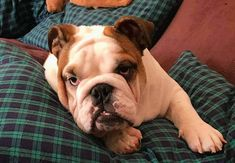 Looking for lazy dog names? Here is the list of best names for lazy dogs. Lazy Dogs, Lazy Dog Breeds, Types Of Dogs Breeds, Dog Breed Names, Puppy Names, Best Dog Names, Cool Names, French Bulldog, English Bulldogs
