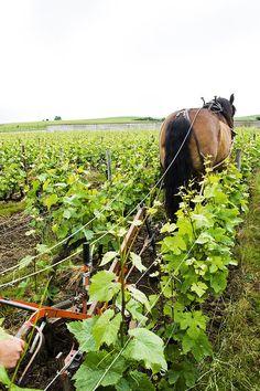 Cette méthode d'entretien du sol de la vigne améliore sa porosité et sa biodiversité : les racines se développent en profondeur et les minéraux extraits du sol favorisent la pousse de raisins plus petits et concentrés afin de révéler le goût typique de ce terroir.
