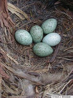 Crow eggs are beautiful.