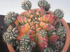 "Gymnocalcium ""moon cactus"""