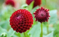 They are great for colourful borders and fantastic in a vase. Sarah Raven chooses her top 20 dahlias to order now Fall Flowers, Summer Flowers, Red Flowers, Wedding Flowers, Red Plants, Garden Plants, Beautiful Gardens, Beautiful Flowers, 24. August