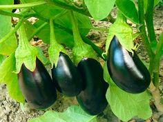 Особенности выращивания баклажанов в открытом грунте
