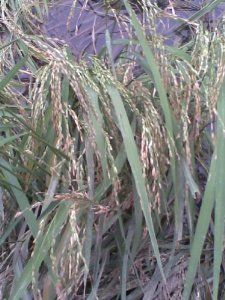"100 LONG GRAIN BROWN WHITE RICE Oryza Sativa Vegetable Seeds by Seedville. $2.00. HARDINESS ZONE:  Tender Perennial. HARVEST:  90 - 120 Days. LIGHT REQUIREMENTS:  Sun  . . .  SOIL / WATER:  High - Needs 1 inches of water per week. Rice can easily be grow in pots, pools, or containers. (Or containers indoors, too.) Brown rice is white rice if the bran (outer coating) is removed. Rice plants can grow and produce for up to 20 years!. PLANT HEIGHT:  24 - 36""  . . .  PLANT SP..."