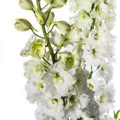Delphinium Dewi Amor (dubbelbloemig)