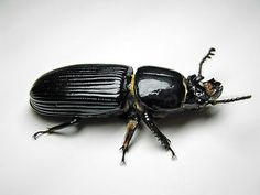 10 Fascinating Facts about Bess Beetles: Bess beetle