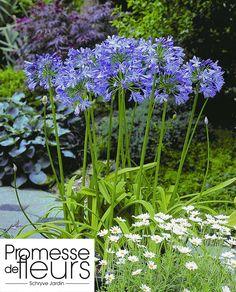 http://www.promessedefleurs.com/bulbes-d-ete/bulbes-d-ete-par-variete/agapanthes/agapanthe-agapanthus-blue-heaven-p-2048.html Agapanthe, Agapanthus blue Heaven, plante à voir sur l'ambiance Jardin des villes: http://www.promessedefleurs.com/ambiance/jardin-des-villes