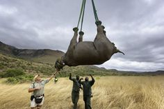 Could airlifting rhinos to safe zones in Australia help save one of Africa's endangered animals? - This Is Africa Save Animals, Wildlife Conservation, Cool Countries, Environmental Science, Animal Rights, Animal Rescue, Hunting, Elephant, Australia