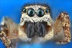Some of the Most Gorgeous Macrophotography We've Seen in Ages; zebraspringspin (salticus scenicus)
