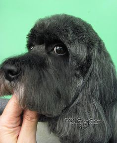 Pet Grooming: The Good, The Bad, & The Furry: Scissoring Heads Goldendoodle Grooming, Dog Grooming Tips, Poodle Grooming, Labradoodle, Dog Grooming Styles, Dog Grooming Salons, Shih Tzu, Poodle Mix Breeds, Dog Haircuts