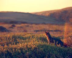 wild fox.