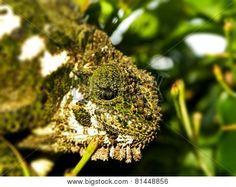 Southern Dwarf Chameleon in plants.