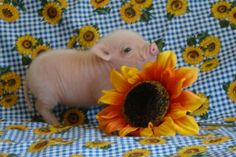 10 Teacup Pigs to Ruin Your Bad Mood Pet Pigs, Baby Pigs, Cute Little Animals, Baby Animals, Miniture Animals, Animal Pictures, Cute Pictures, Cute Piglets, Pot Belly Pigs