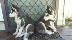 Husky Puppies For Sale, Siberian Husky Puppies, Husky Puppy, Dogs And Puppies, 12 Weeks, Pet Care, Doggies, Dog Breeds, Pure Products