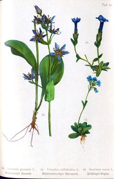 http://viintage.com/wp-content/uploads/2012/09/Botanical-Sudetenflora-Veronica-belloidies.jpg