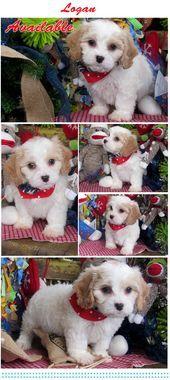 Www Cavachonsbyde Cavachon Puppies For Sale Cavachon