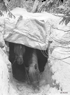 Finnish camouflage concealment for horses during the Battle of the River Kollaa which took place in the Winter War specifically December 1939 - March 1940 and ended with success of Finns. Old Pictures, Old Photos, Native American Baskets, Work Horses, Military Pictures, Horse Photos, Horse Love, Horse Breeds, Military History