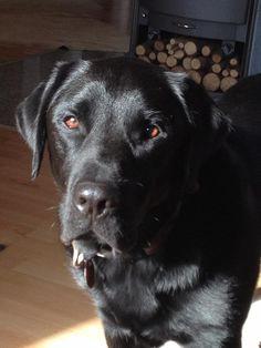 Ole, Labrador Retriever #Hund #dog #widPet - Hundemarken mit QR-Code