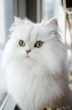 Teacup Persian Kittens, Persian Kittens For Sale, Pretty Cats, Beautiful Cats, Kittens Cutest, Cats And Kittens, Cats Bus, Especie Animal, Video Chat