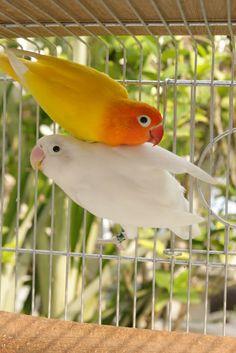 119 best lovebirds images parakeets parrots in love rh pinterest com