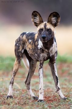 "beautiful-wildlife: "" African Wild Dog by © Gerry Van der Walt Madikwe Game Reserve - South Africa "" African Hunting Dog, African Wild Dog, Hunting Dogs, Game Reserve South Africa, Animals And Pets, Cute Animals, Exotic Animals, Wild Animals, Socializing Dogs"