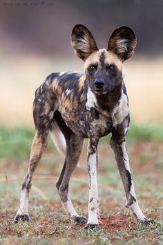 Perro salvaje africano (by Gerry Van der Walt)