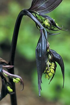 Disporum cantoniense 'Night Heron' or more commonly called, Chinese fairy bells is a magnificent shrub native to the forests and thickets in China. Dark Flowers, Exotic Flowers, Amazing Flowers, Purple Flowers, Beautiful Flowers, Strange Flowers, Cut Flowers, Witchy Garden, Gothic Garden