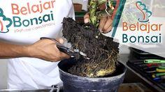 Bonsai rukem flacourtia indica pemangkasan agustus 2017 bonsai sancang pemotongan dahan cabang yang di los dan pangkas akar ccuart Images