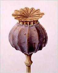 Poppy Seed Head by Brigit Edwards 1999 . botanicalillustration.blogspot.com