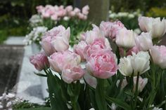 The beautiful Tulipa 'Angélique'.  More peony than late tulip - with soft double-cupped flowers in an ice-cream mixture of pink and vanilla-white - softended by a hint of lily-of-the-valley green.