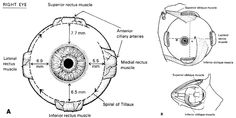Spiral of Tillaux