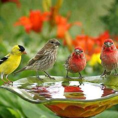 Finches....these come to my feeders:D