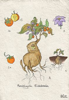 Mandrake: another botanical illustration. Something a little bit more dangerous, this time…