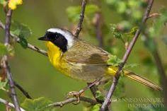 "Common Yellowthroat (order: Passerifomres; Family: Parulidae) song: ""witchity, witchity, witchity, witch"""