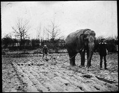 Elephant ploughing a field.   This image comes from a collection of glass slides of fairground scenes found in the stores at Discovery Museum, Newcastle upon Tyne. Image copyright Tyne and Wear Archives & Museums.