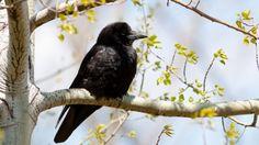 Wallpaper raven, branches, sitting, bird