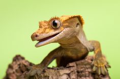 Definitely the next reptile I want to get!  Crested gecko by Anna Derleta