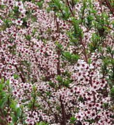 Manuka (tea tree) – Leptospermum scoparium Produces Nectar and Pollen for Many … - Modern Manuka Tree, Types Of Bees, Manuka Honey, Flowering Trees, Back Gardens, Tea Tree, Trees To Plant, Shrubs, New Zealand