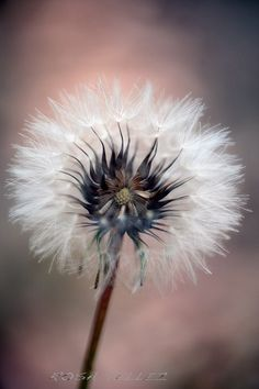 Floating seed dandelion
