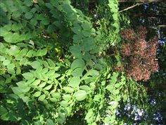 Aralia spinosa, Devil's walking stick, Dr. Seuss plant