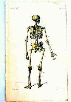 Vue des os de squelette humain. Dos. Anatomie Pl. II. 1873. Anatomie, planche IX. Par Antonin Bossu  (1809-1897). In 'Anthropologie. Septième Édition' (1873 https://pinterest.com/pin/287386019948149050).  Atlas de Vingt Planches d'Anatomie Avec Légendes en Regard Suivi d'un Précis d'Anatomie Des Formes Extérieures a l'usage des Artistes. Dessin : Jean-Baptiste Léveillé.