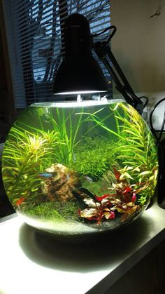 Alex Hart‎ Planted Tanks 9 gallon bowl update.. Working on the foreground grass.