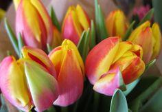 tulip varieties | Tulipa